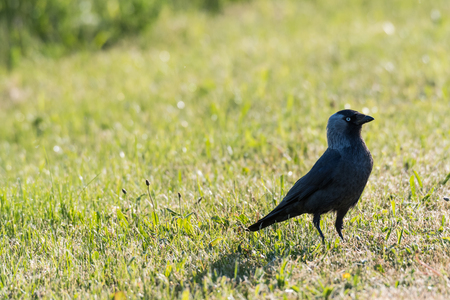 Watchful Jackdaw bird in the green bright grass Stock Photo