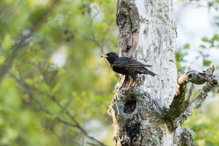 Adult starling with food in the beak sitting in an old tree