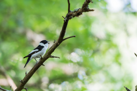 Singing beautiful male Collared Flycatcher, Ficedula Albicollis, sitting on a twig in a bright deciduous forest by spring season