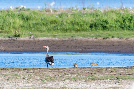 Watchful Greylag Goose mother withs two chickens by seaside