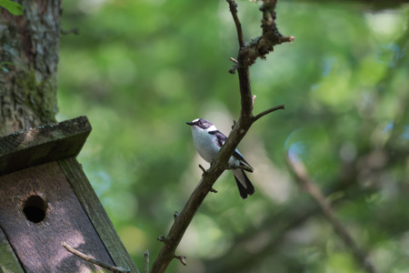 Beautiful male Collared Flycatcher, Ficedula Albicollis, by his nesting box Stock Photo