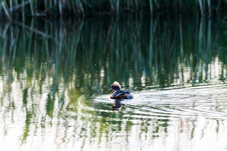 Beautiful duck Slavonian Grebe, Podiceps Auritus, an early morning in a pond on the swedish island Oland Stock Photo
