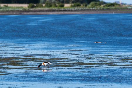 Feeding beautiful Shelduck by the coast of the swedish island Oland in the Baltic Sea