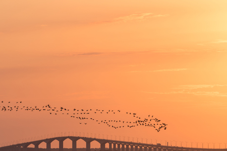 Flock with migrating Brants flying over the Oland bridge in sweden by sunset Stock Photo