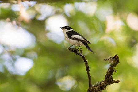 Beautiful male Collared Flycatcher, Ficedula Albicollis, sitting on a twig in the forest by spring season