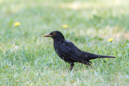 Male blackbird with a worm in his beak on a green lawn