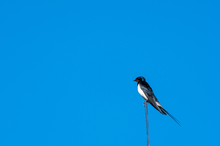 Closeup of a sunlit Barn Swallow on the top of a weather vane