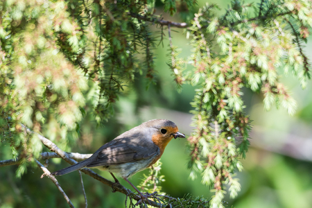 A little red robin with food in his beak sitting an a twig in a juniper bush Stock Photo - 104363315