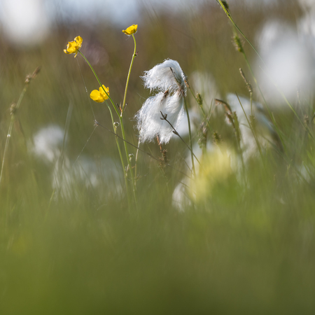 Blossom cotton grass and butter cups in a marshland by  summer season at the swedish island Oland Stock Photo