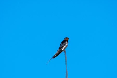 Beautiful barn swallow sitting on the top of a weather vane Stock Photo