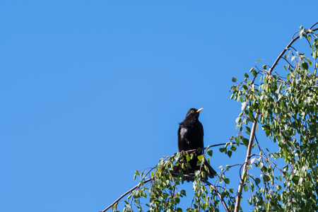 Male blackbird sitting in a birch tree by a blue sky Stock Photo