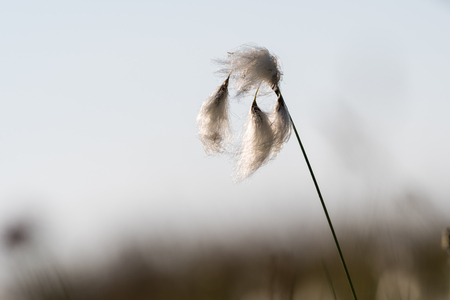 Common fluffy cotton grass closeup at the swedish island Oland Stock Photo