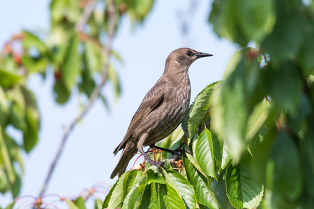 Young starling sitting in a cherry tree among green leaves
