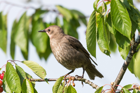 Closeup of a young Starling sitting in a cherry tree