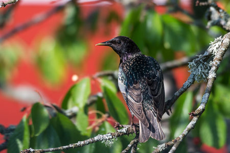 Watchful adult starling sitting on a cherry tree branch by a green and red background