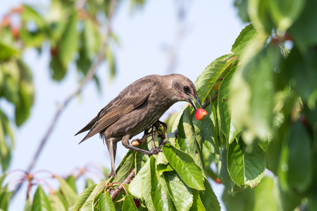 Young starling eats red cherries in a cherry tree Stock Photo