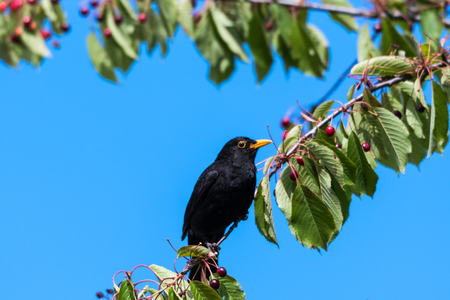 Male Blackbird sitting on a branch in a cherry tree with ripe berries