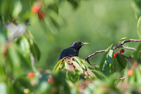 Starling is hiding in a cherry tree with red ripe cherries Stock Photo