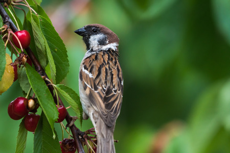 Closeup of a Tree Sparrow sitting in a cherry tree eating berries Stock Photo