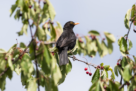 Male blackbird picking ripe red cherries on a branch in a cherry tree Stock Photo
