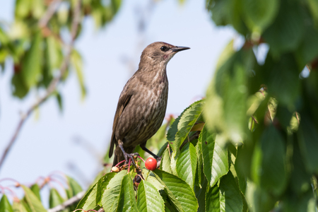 Young starling sitting in a cherry tree with ripe berries