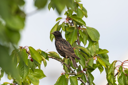 Starling sitting in a cherry tree going to steal berries Stock Photo