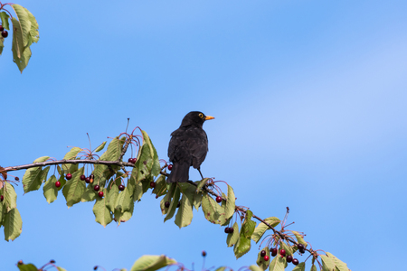 Blackbird sitting on a cherry branch with ripe berries by a blue sky Stock Photo
