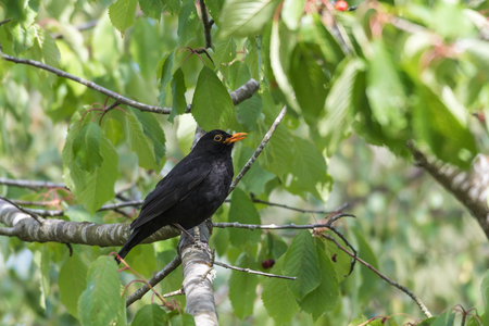 Male blackbird sitting on a branch in a cherry tree Stock Photo