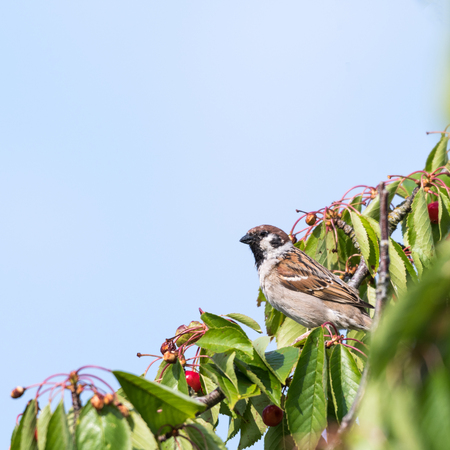 Tree sparrow stealing cherry berries in a tree