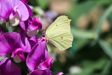 Yellow Brimstone butterfly feeding nectar from a Sweet Pea flower in a garden Stock Photo