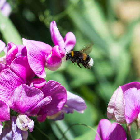 Bumblebee searching for honey on a Sweet Pea flower Stock Photo