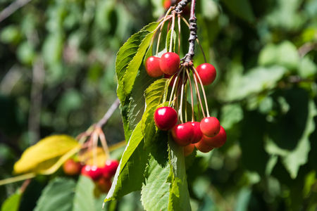 Ripe red cherries hanging on a branch in a cherry tree Stock Photo