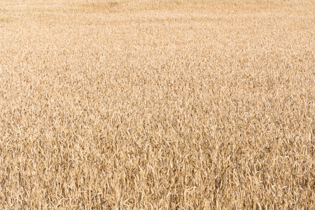Matured wheat corn field background image Reklamní fotografie