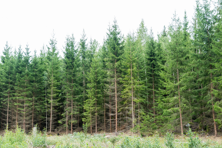 Young lush growing spruce tree forest
