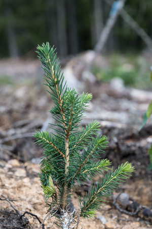 Growing young spruce plant in a forest Stock Photo