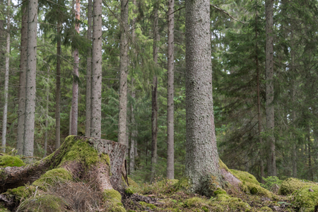 Mossy tree stump in a coniferous forest