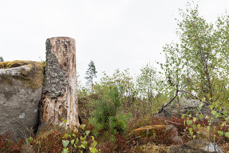 Old spruce tree stump in a clear cut forest area