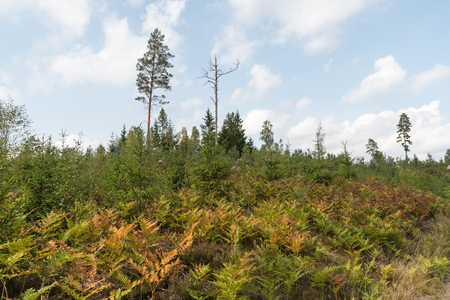 Colorful brown and yellow bracken plants in a coniferous forest
