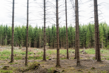 Bright spruce tree forest with trees in different ages