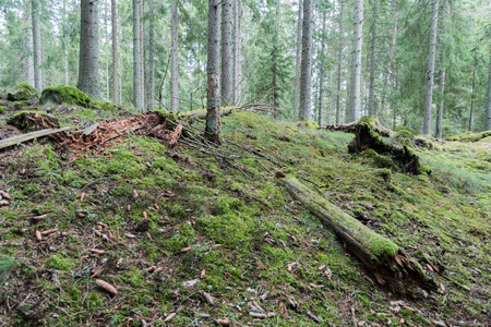 Old mossy coniferous forest ground Stock Photo