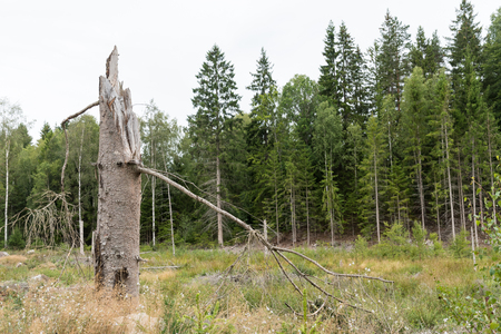 Broken high spruce tree stump by a glade in a coniferous forest