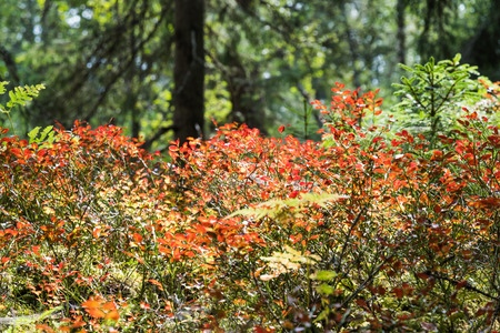Colorful blueberry twigs on a spruce forest floor
