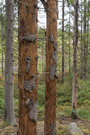 Dead spruce trees damages by Spruce Bark