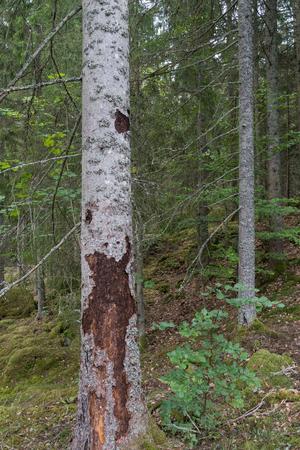 Spruce tree damaged by spruce bark