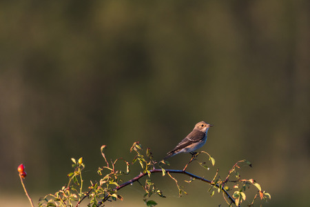 Spotted Flycatcher watching from a rose hip twig Stock Photo