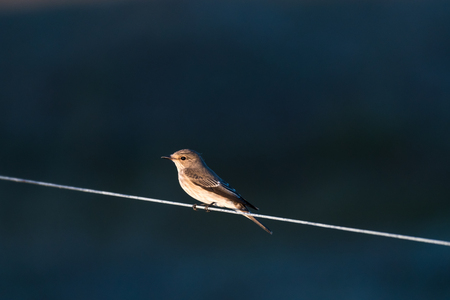 Spotted Flycatcher sitting watching on a line Stock Photo