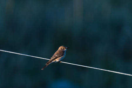 Spotted Flycatcher watching from a line