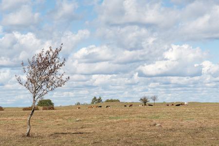 Dry swedish landscape with grazing cattle at the island Oland