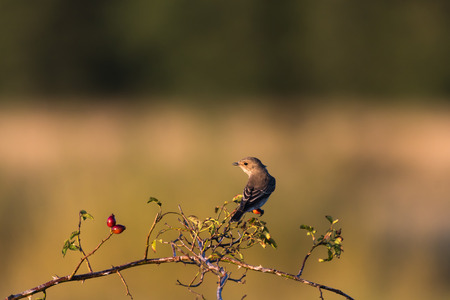 Spotted flycatcher bird on a rose hip twig