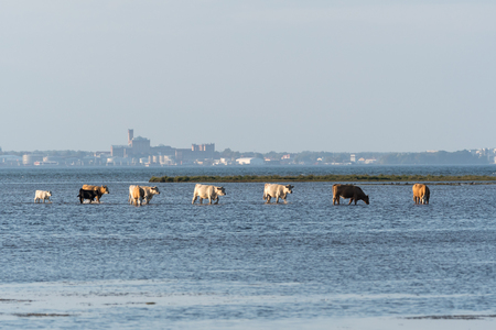 Group of cows walking in a line in the water by the coast at the swedish island Oland Stock Photo